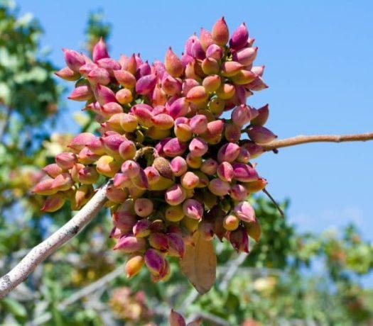 Plantation de pistachiers sur l'île d'Egine