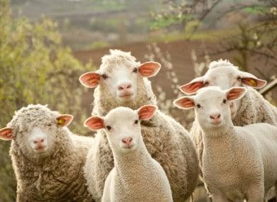 Elevage irlandais – bovins et moutons