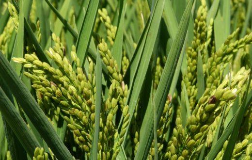 Les rizières du delta de l'Èbre