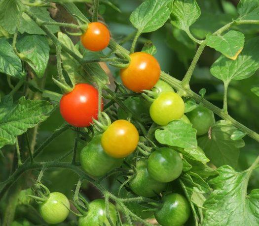 Jardinage - tomates