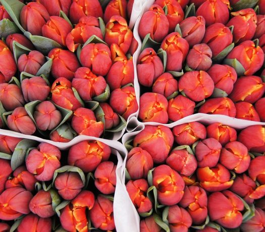 Des tulipes à Amsterdam