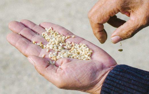 Plantation de riz dans le delta de l'Èbre